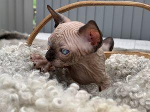 Sphynx Nakenkatt Uppfödare Kattungar